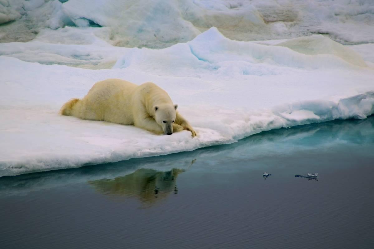 Comportamento, por Antonia Doncila. Um urso polar sortudo encontra uma superfície de gelo para descansar. Seu olhar aparentemente desolado em direção à água representa o resultado dos nossos erros contra o meio ambiente. A foto é também um símbolo de esperança porque o que estava derretido pode voltar a congelar. Peter Convey/Royal Society Publishing Photography Competition