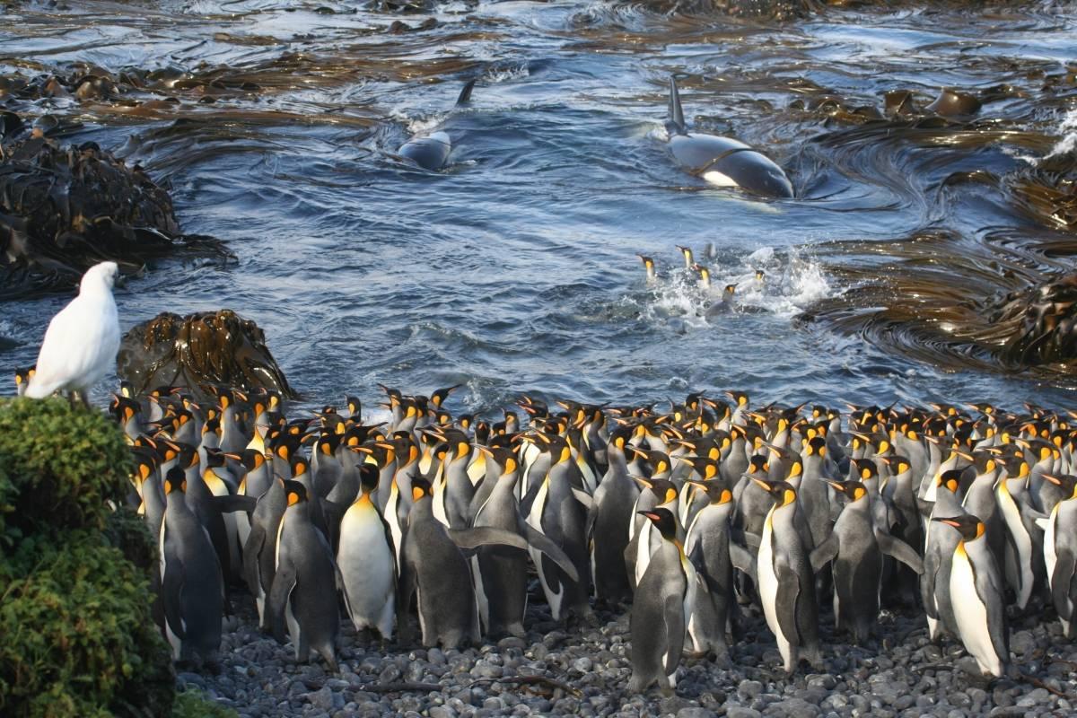 Ecologia e Ciências Ambientais, por Professor Nico de Bruyn. As baleias assassinas entram repentinamente numa pequena baía na ilha Marion, no Atlântico sul, surpreendendo um grupo de pinguins-rei na praia. Peter Convey/Royal Society Publishing Photography Competition