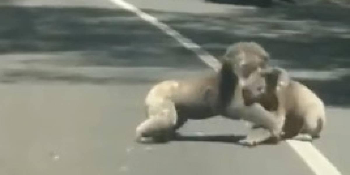 Koalas protagonizan pelea y provocan caos en carretera de Australia