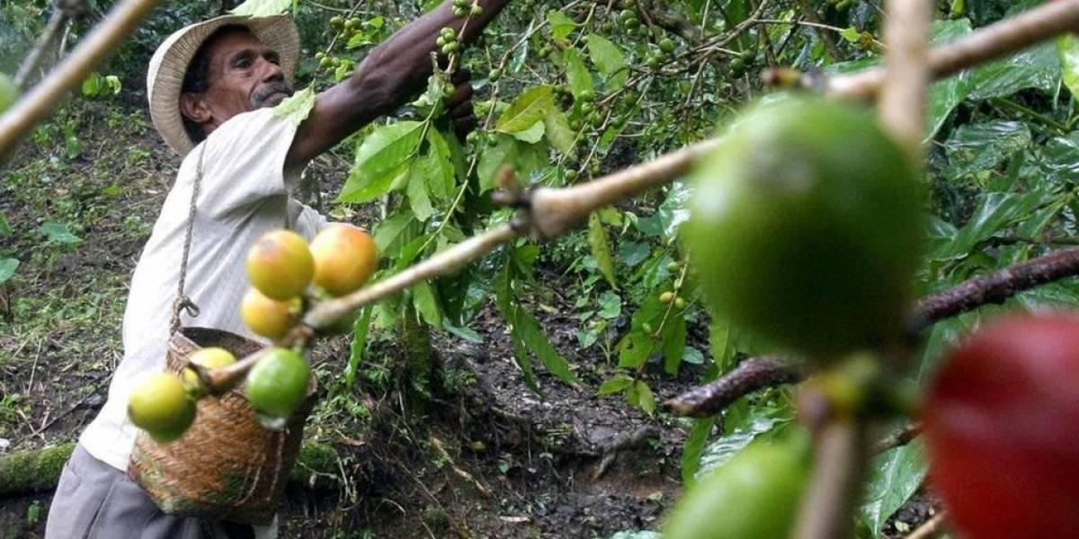 A praga que ameaça o saboroso café colombiano