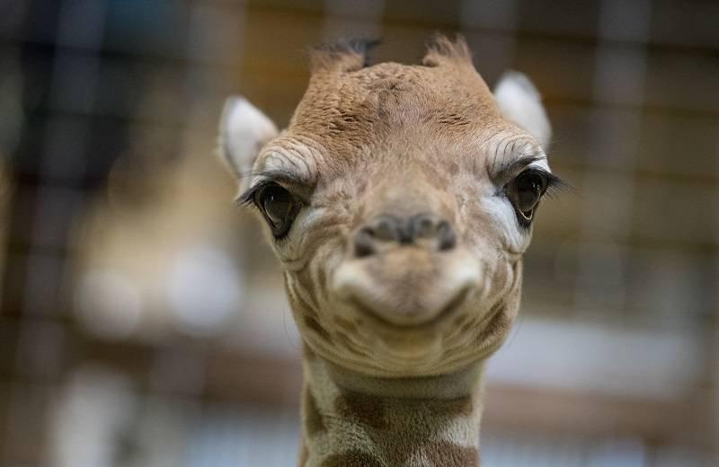 Jirafa sonríe a la cámara. |GETTY