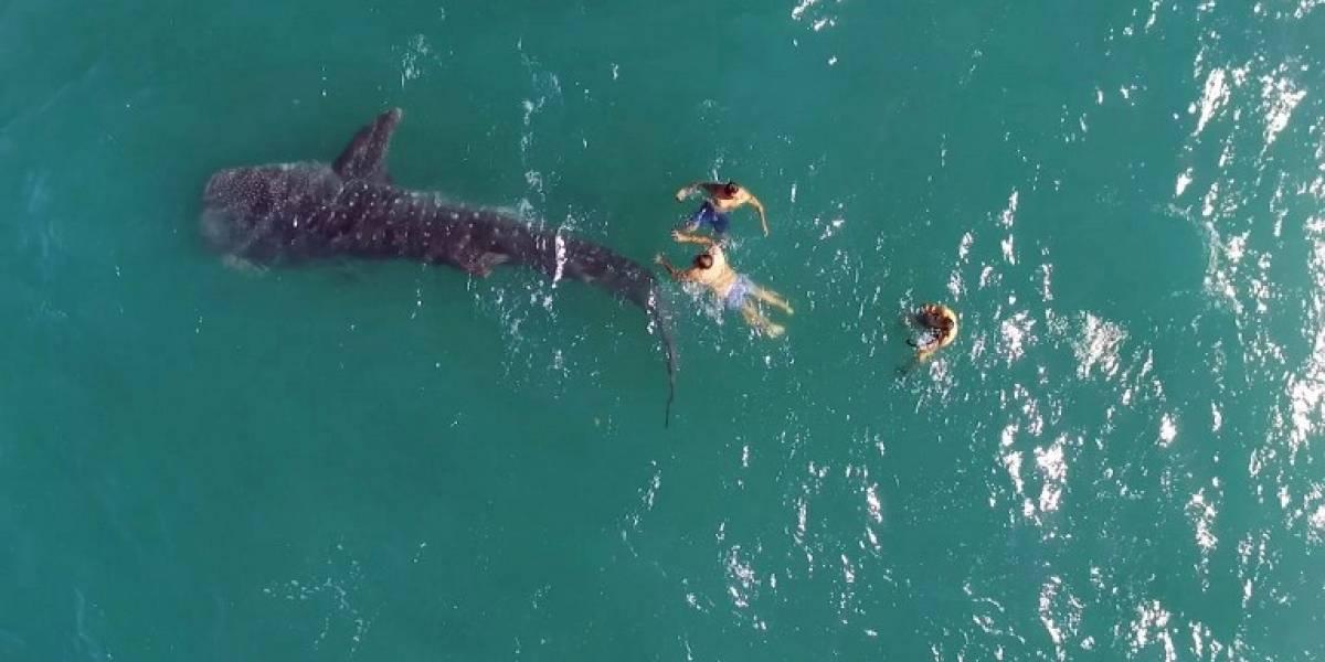 Enormes tiburones ballena nadan con turistas en el norte de México