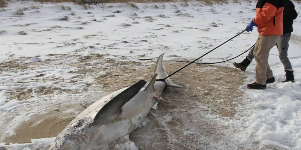 Mientras algunos dicen que el calentamiento global es un chiste: tres tiburones mueren congelados por ola polar en EEUU