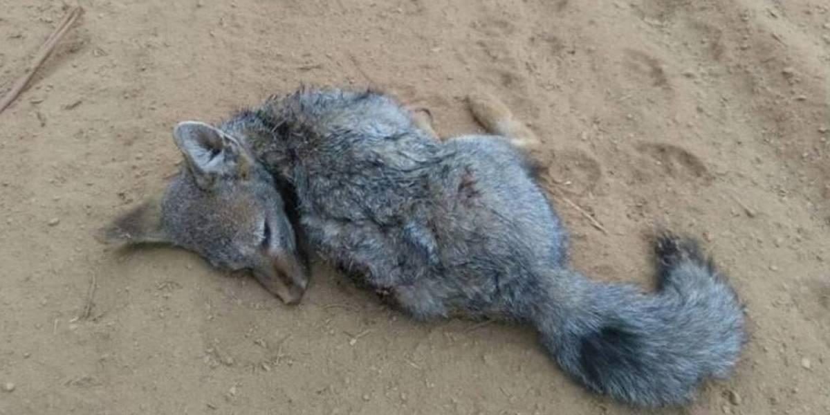 """""""Tenencia irresponsable"""": la fotografía de un zorro atacado por perros asilvestrados que abrió fuerte debate en redes sociales"""