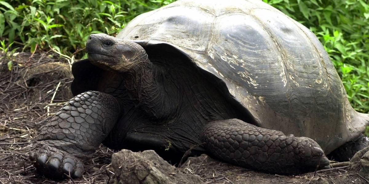 Luego de un siglo sin hacerlo, nacen nuevamente tortugas en Islas Galápagos