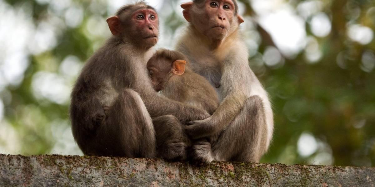 Inglaterra: 13 monos mueren en incendio ocasionado en un parque safari