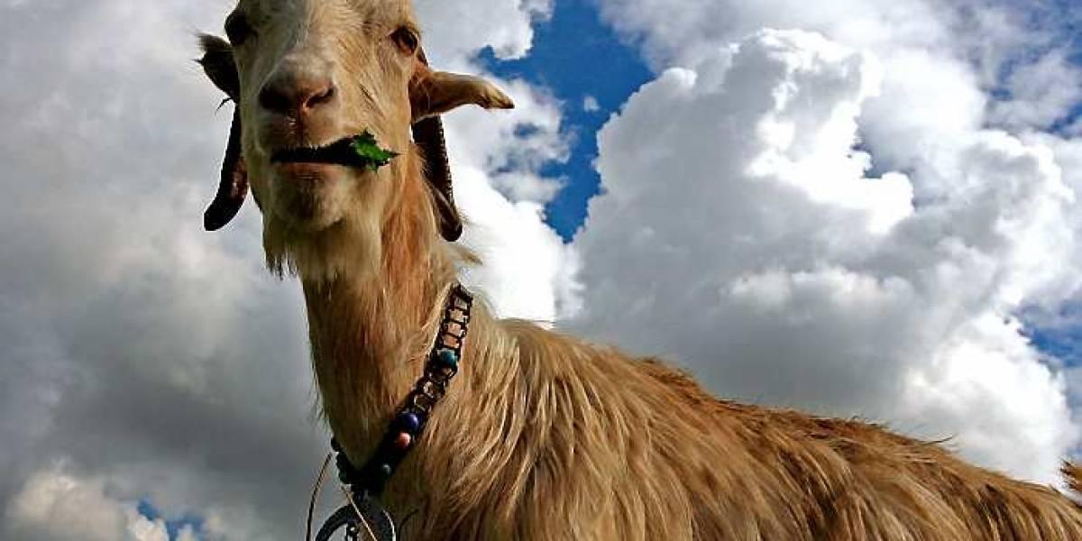 """""""Es un pervertido serial"""": sorprenden a Rambo violando a una cabra preñada y recibe un humillante castigo"""
