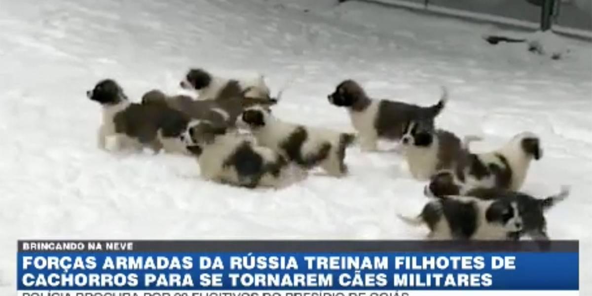Forças armadas da Rússia treinam filhotes para tornarem cães militares