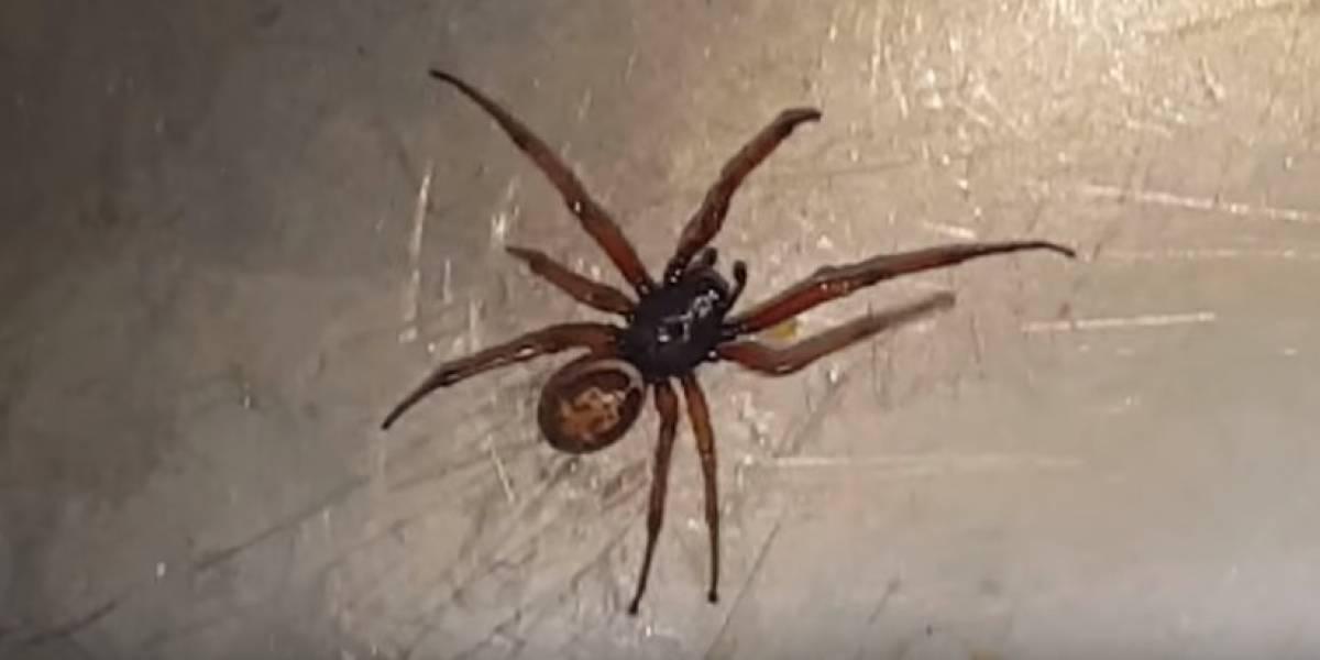 """Descubren tres nuevas arañas venenosas chilenas y son tan peligrosas como la temida """"de rincón"""""""