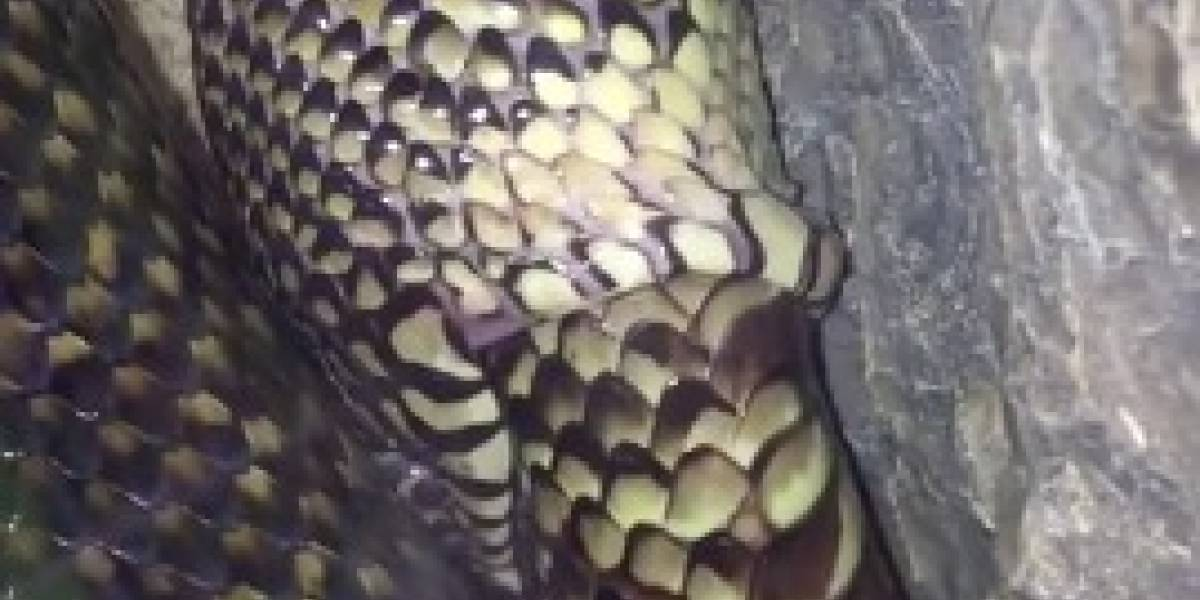 Video de una serpiente tragándose a sí misma se hace viral