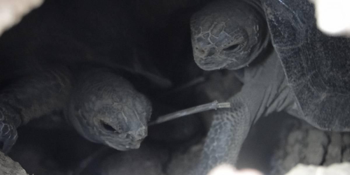 Increíble: después de más de un siglo, vuelven a nacer tortugas en la isla de Galápagos