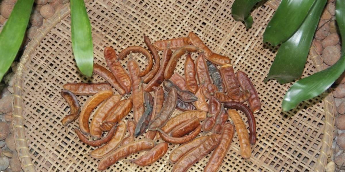 O fruto amazônico que pode baratear e simplificar o tratamento da leishmaniose