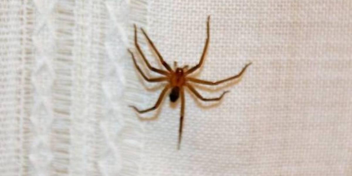 """""""Pueden conllevar a un daño renal, hepático y probablemente la muerte"""": revelan más detalles de las nuevas arañas venenosas chilenas"""