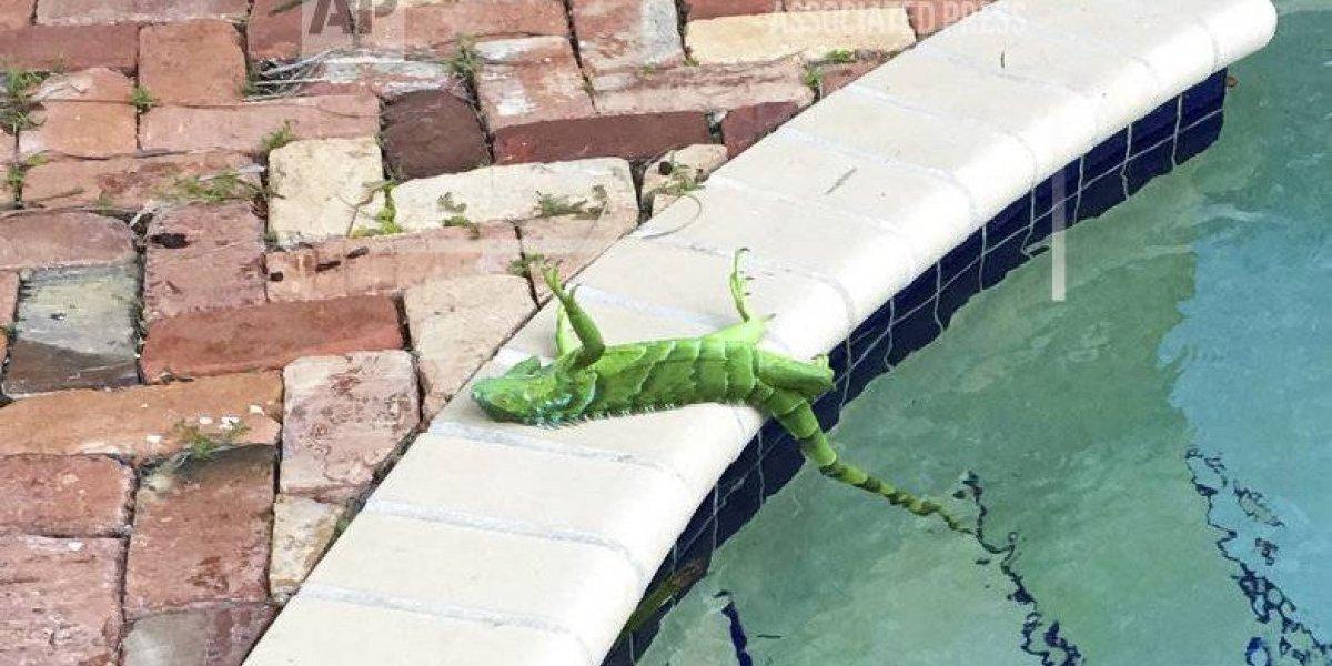 Por bajas temperaturas, las iguanas se congelan en Florida