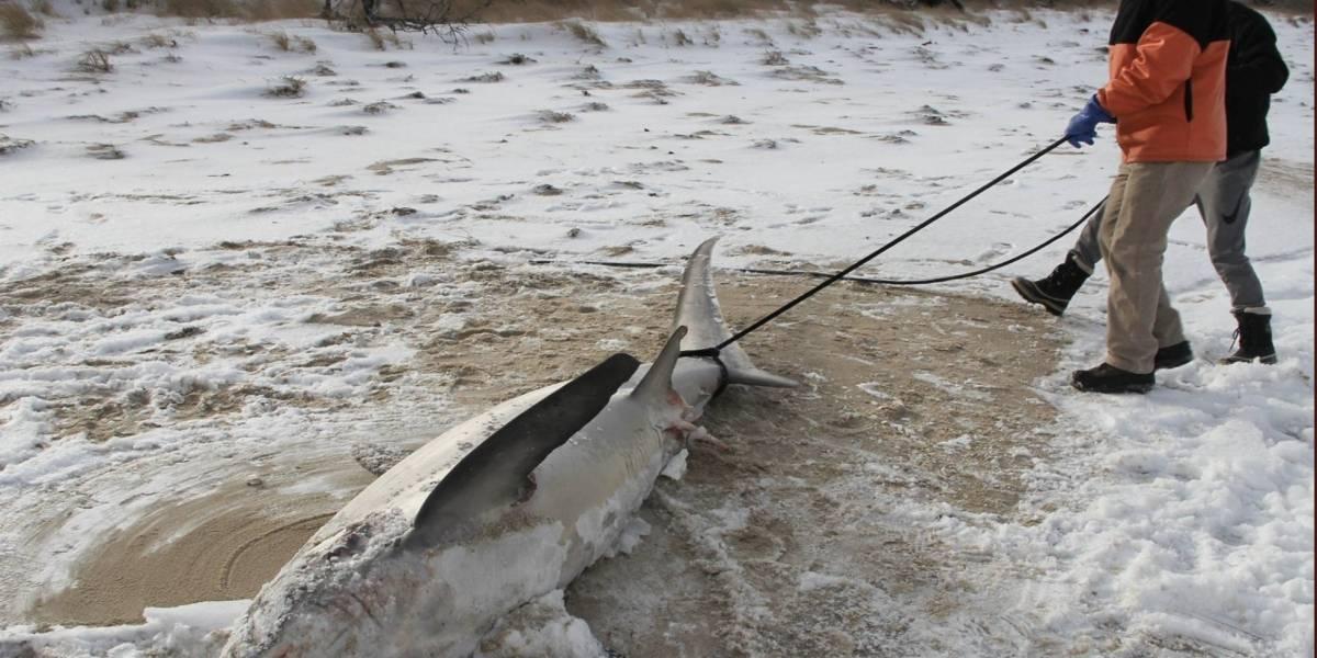 Por bajas temperaturas encuentran tiburones congelados