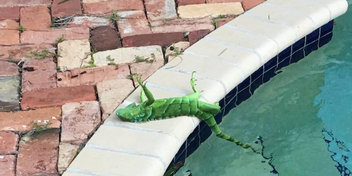 Se congelan las iguanas por fuerte frío en Florida
