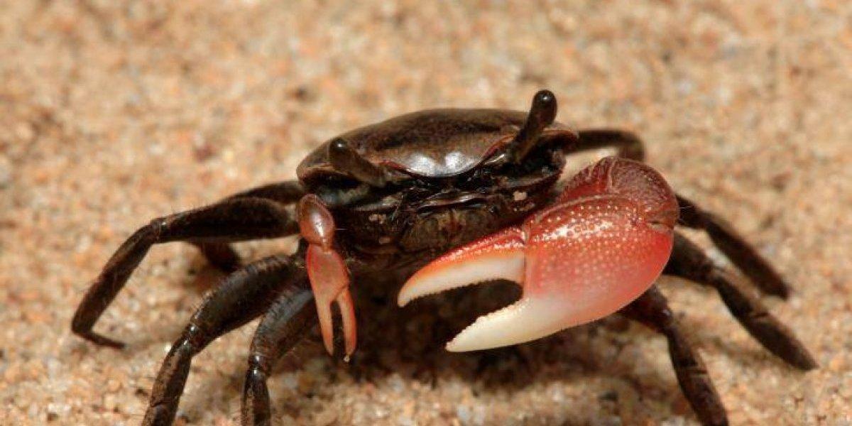 Presidente Medina establece nuevo período de veda de captura cangrejos