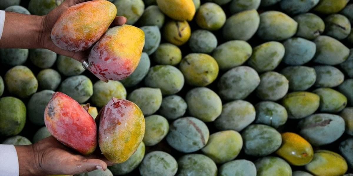 En riesgo de perderse 29 contenedores llenos de mango de Puerto Rico