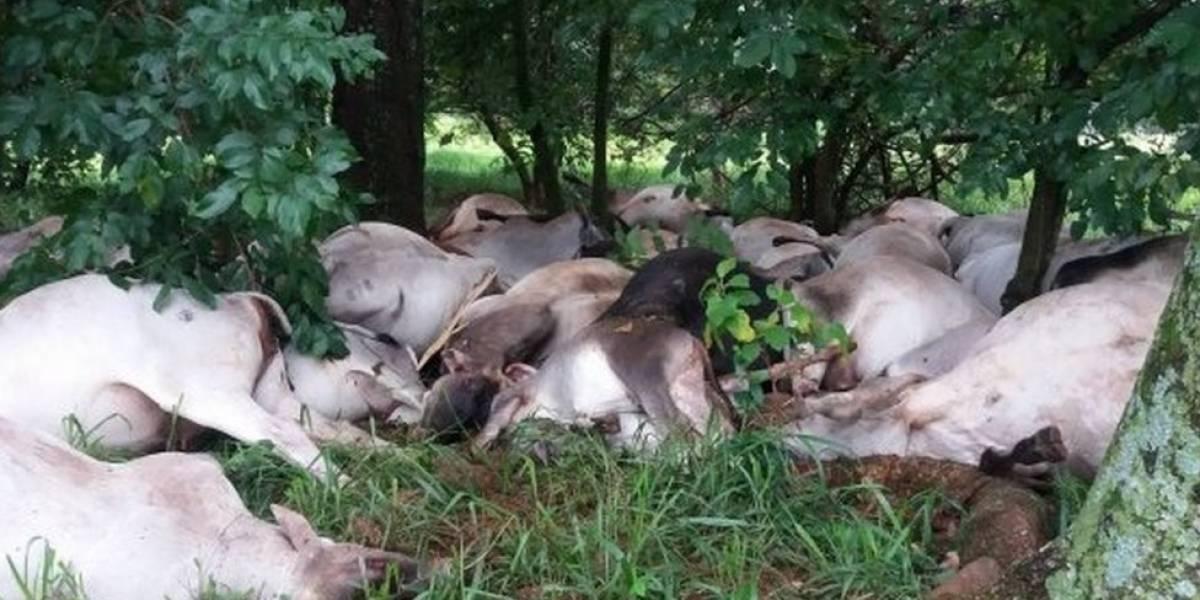 Sacrifican quince bovinos que llegaron de Venezuela con fiebre aftosa