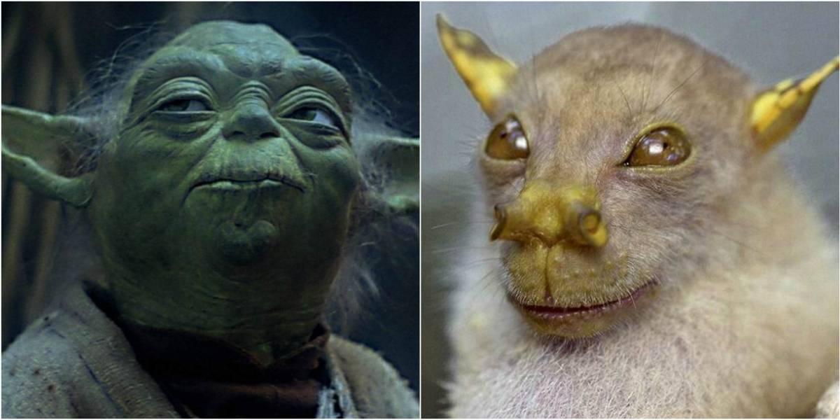 """""""Yoda"""": la raza de murciélagos bautizada en honor al maestro Jedi"""