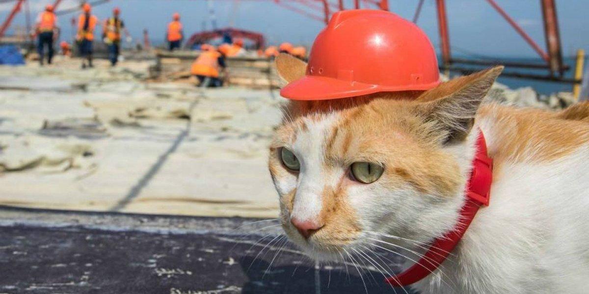 Conheça Mostik, o gato supervisor de obras