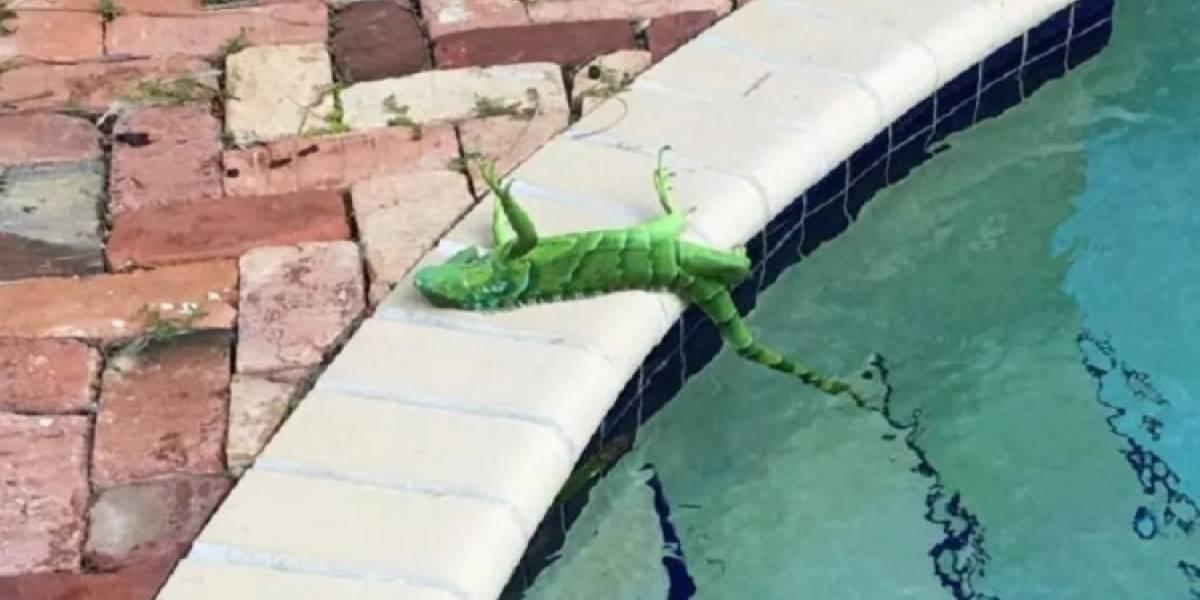 Baixas temperaturas fazem iguanas caírem de árvores na Flórida