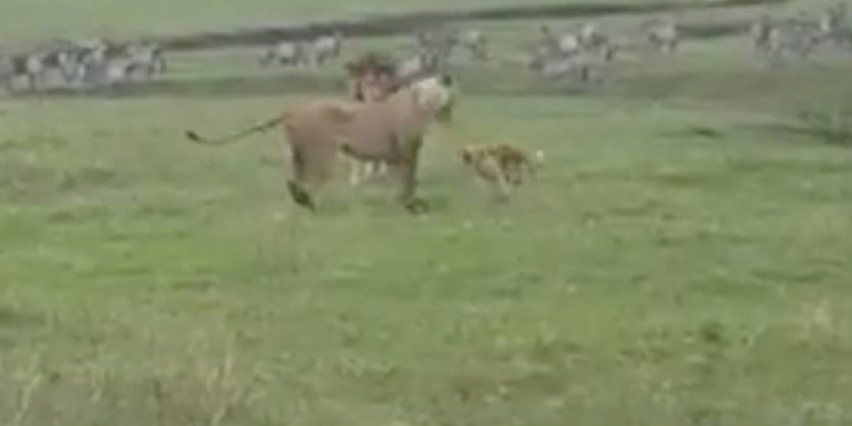 Encuentro entre perro y 2 leones se viraliza en redes