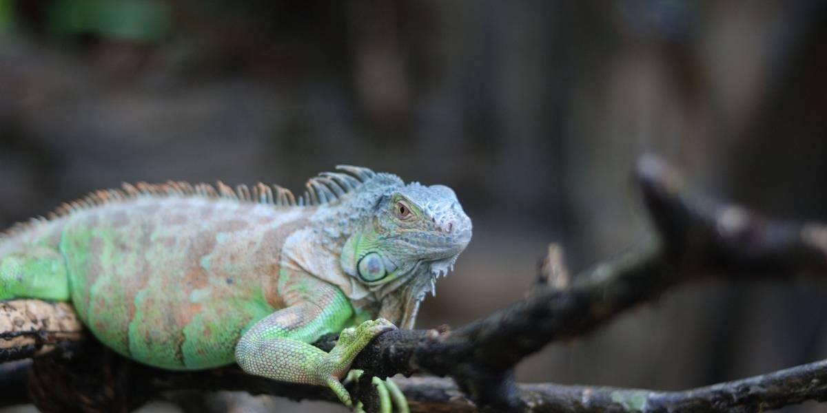 """Los peligrosos ataques de las iguanas """"zombies"""" que causan alerta en la población"""