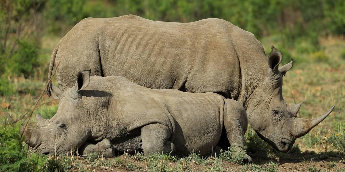 DNA é utilizado como prova para condenar matadores de rinocerontes na África