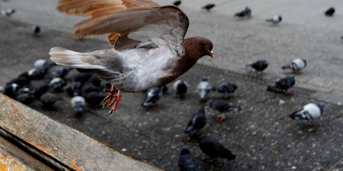 """¿Los peruanos comen palomas? Youtuber rompe el mito y culpa a la """"prensa amarillista chilena"""" por avivar la leyenda"""