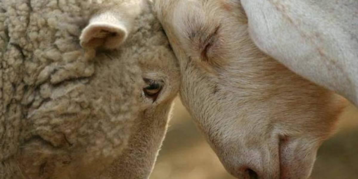"""""""El 90% de las ovejas en España se cría para fines sexuales"""": el artículo que desató un escándalo judicial por culpa del poco sentido del humor"""