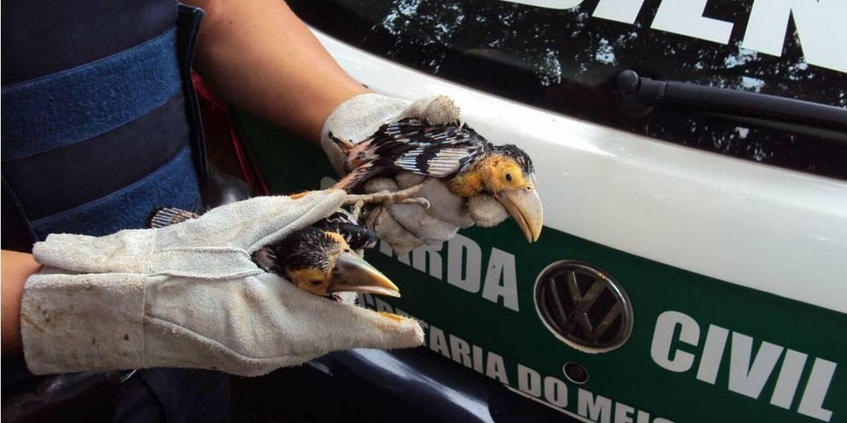 Filhotes de tucano são resgatados em poste de iluminação em Sorocaba
