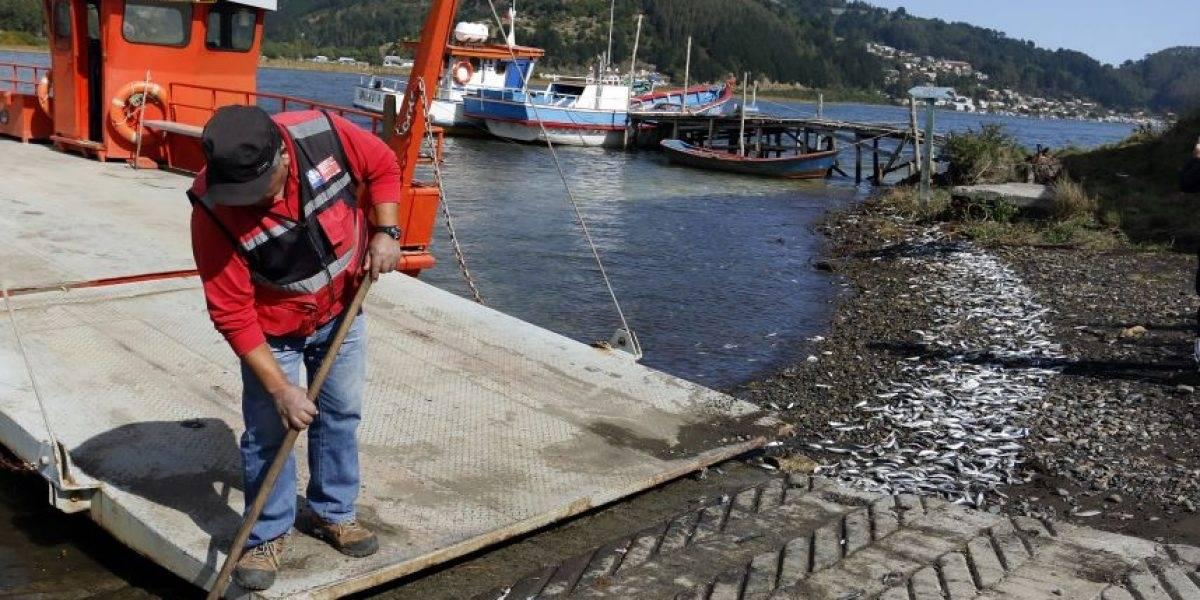 Encontraron una tonelada de sardinas varadas en la desembocadura del Río Maule