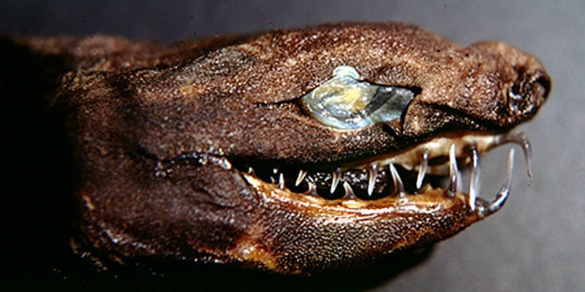 'Tiburones víboras' estremecen con sus mandíbulas a lo 'Alien'