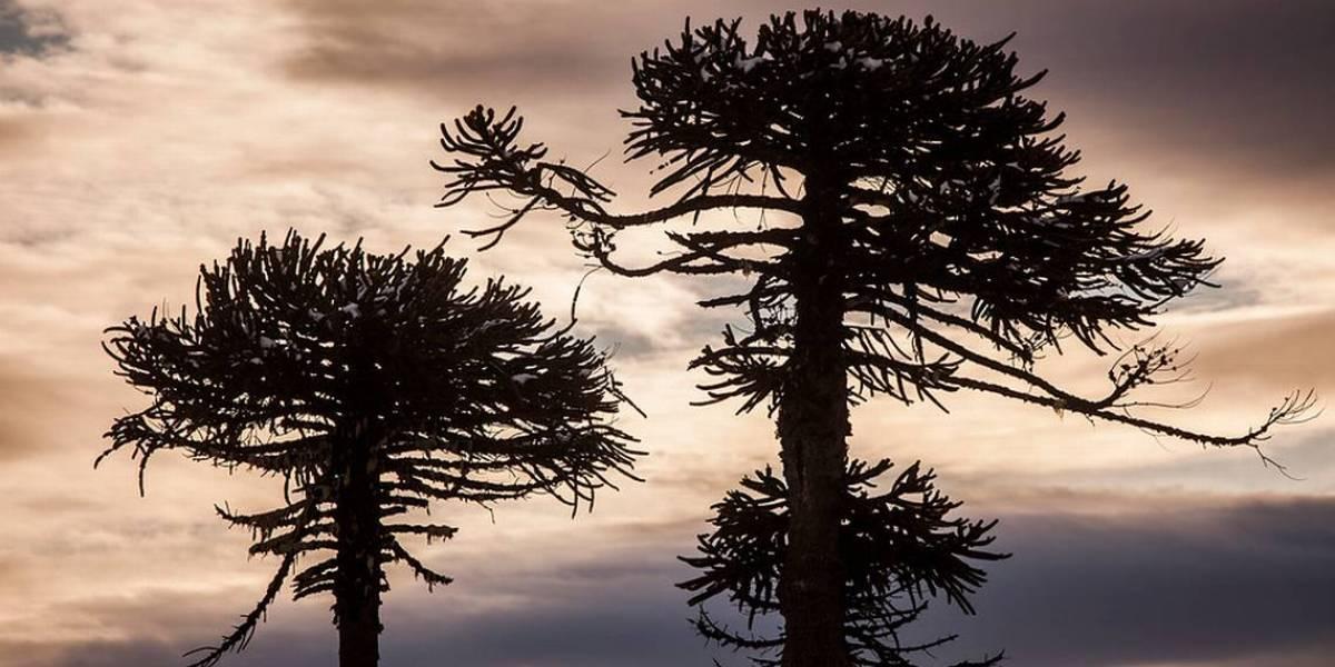 Flora y fauna afectados por cambio climático: La araucaria en peligro