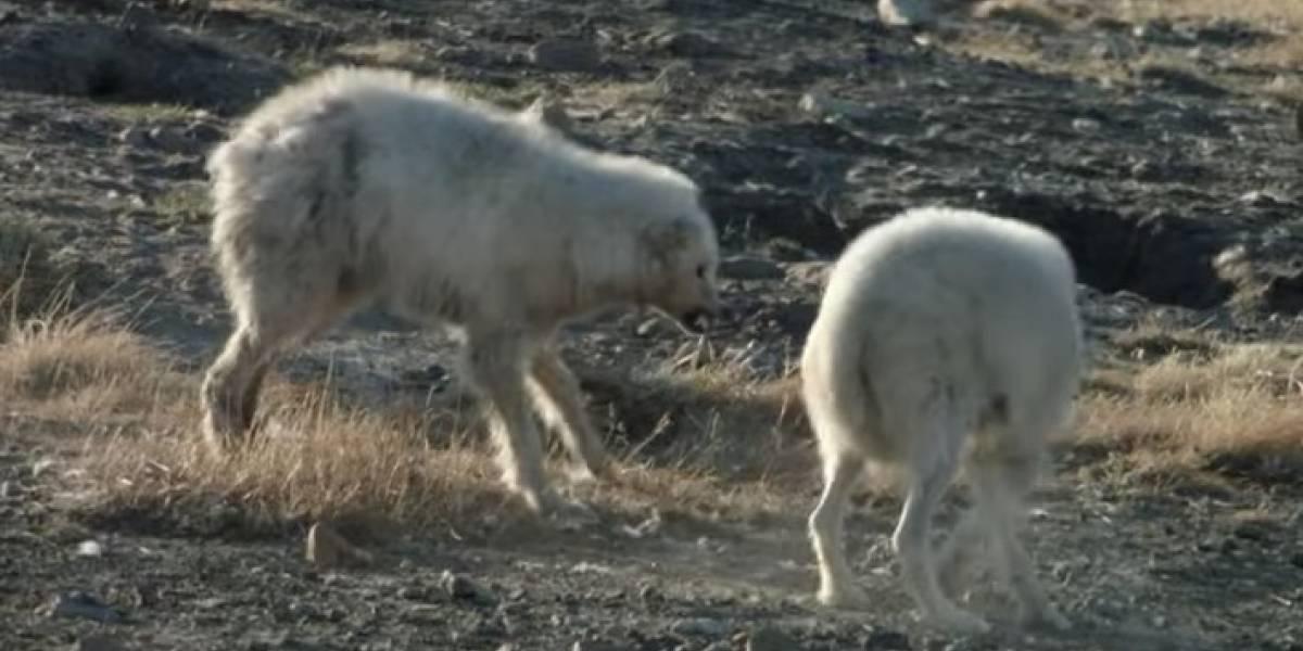 Batalla entre lobas que defienden con fiereza a sus crías