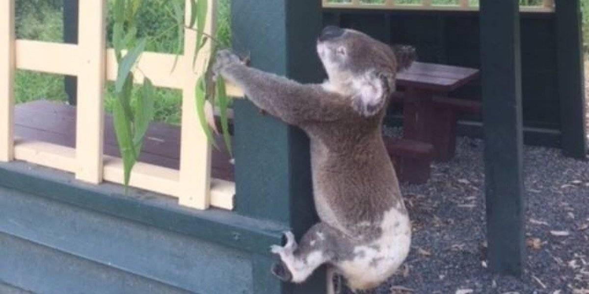 Encuentran a koala atornillado a un poste en Australia