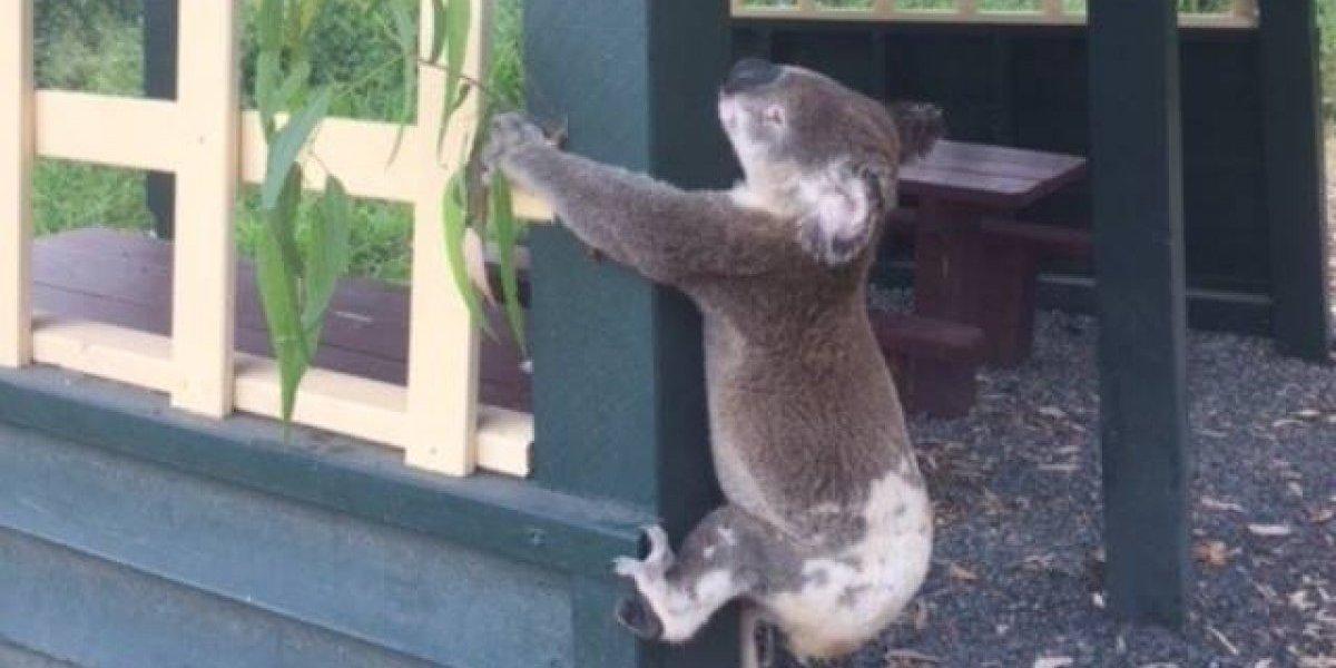 Koala es encontrado atornillado a un poste en bosque de Australia