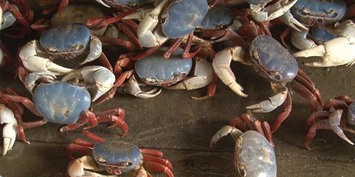 A partir del 15 de enero se inicia veda de cangrejo azul