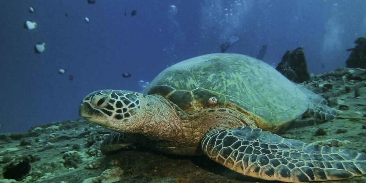 Aumento da temperatura dos oceanos está causando boom de tartarugas fêmeas