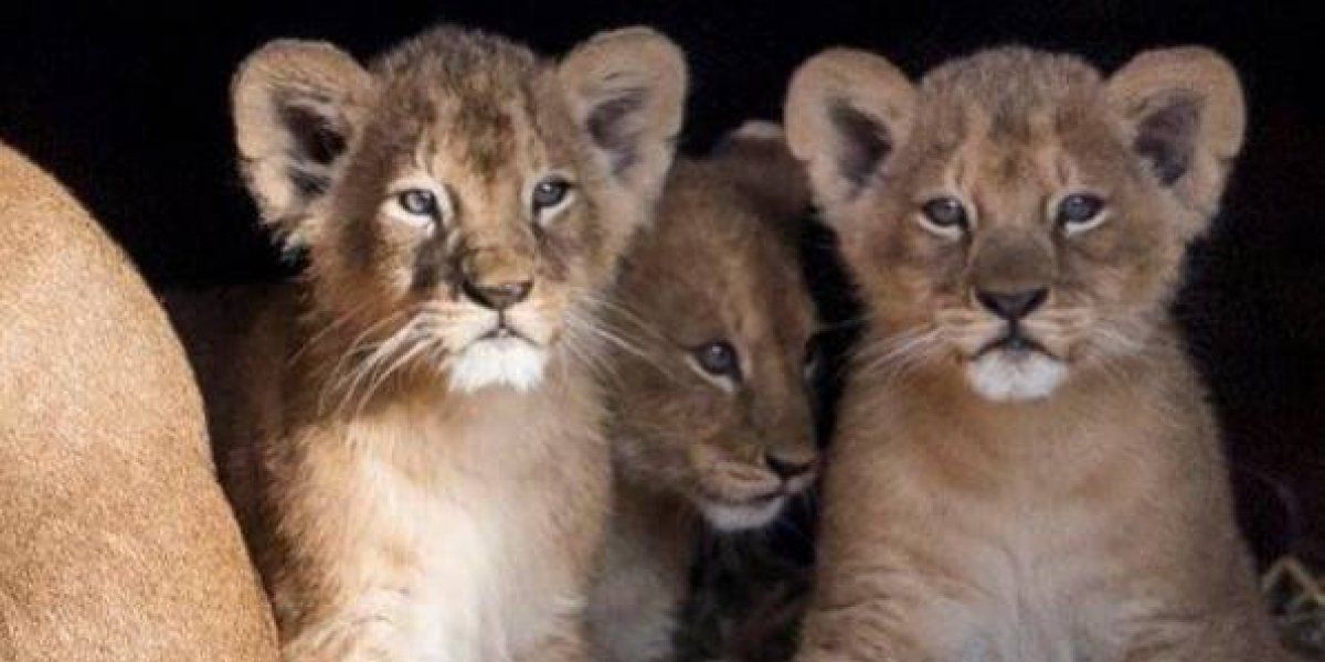 Sacrifican a nueve cachorros de león por falta de espacio en zoológico