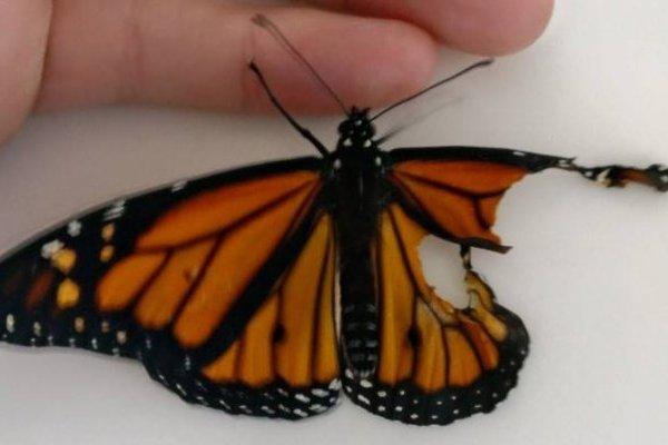mariposa trasplante