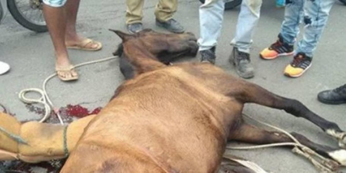 Muere Yegua usada de manera ilegal como vehículo de tracción animal en Buga