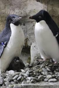 Nacen tres pingüinos en el Zoológico Guadalajara
