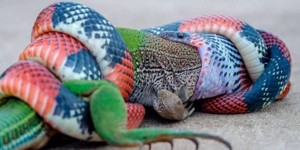 Fotógrafo registra momento em que cobra engole um lagarto no interior de São Paulo