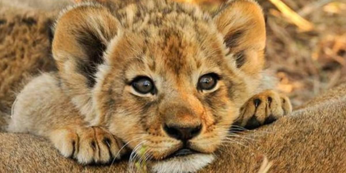Zoo na Suécia admite que matou filhotes de leões saudáveis