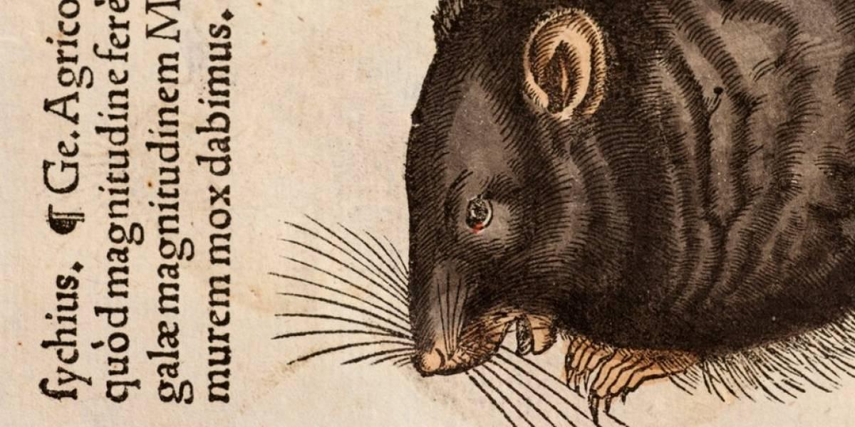 Os ratos são inocentes: pesquisa aponta que humanos espalharam a peste negra, epidemia mais mortal da história