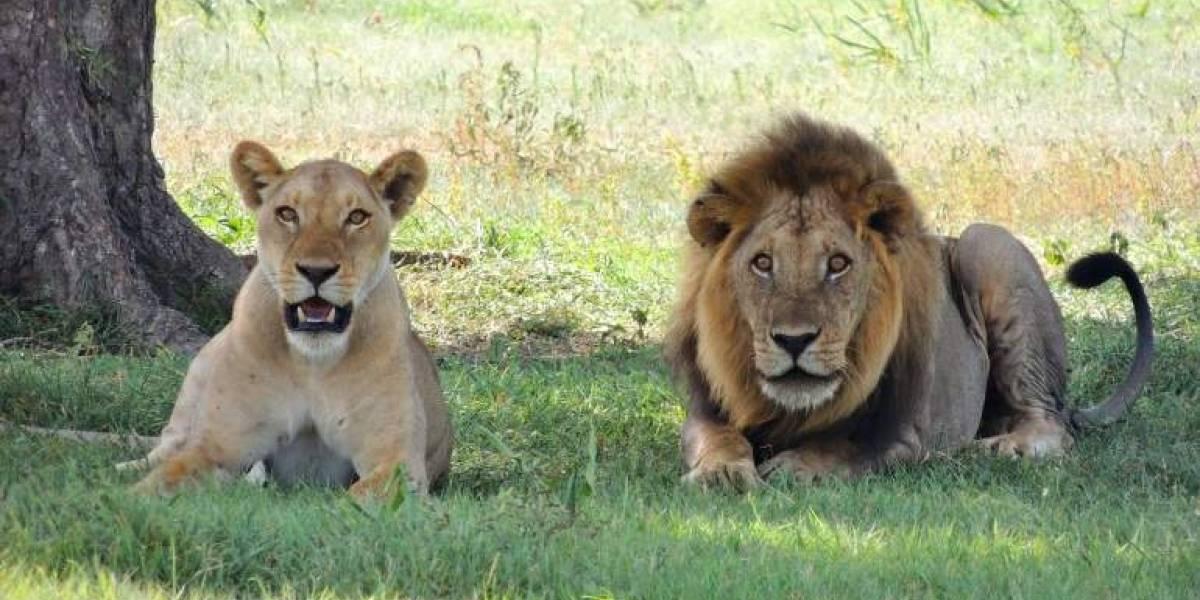 """El """"rey de la selva"""" perdió su trono: la leona demuestra es quien manda en la jungla"""