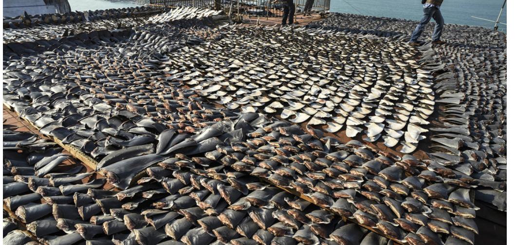 Confirman insólito hallazgo de aletas de tiburón en techo de embajada en Santiago
