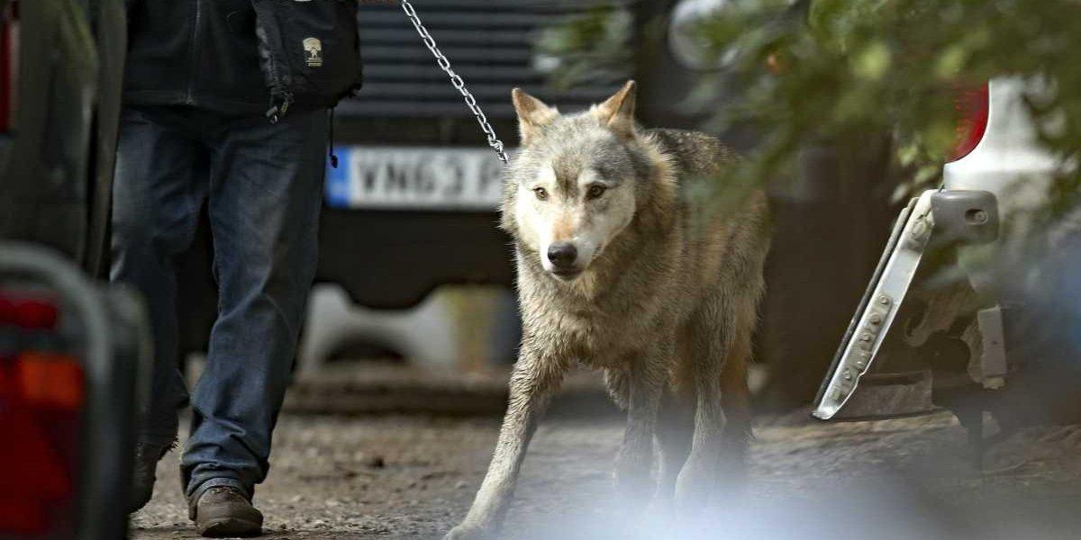 Lobo suelto causó pánico en Gran Bretaña